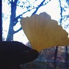 My mom took the kids to see the beautiful ginkgo tree up the street. Eden brought a bouquet of golden leaves. Such a wonderful gift to my poor, tired, sniffly self. #ginkgo #yellow #gold #leaf #vscocam