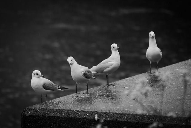oliko2 - Gull Quartet