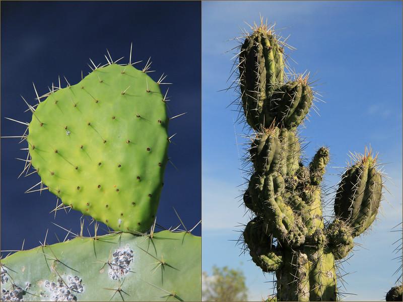 Cactus, Wari