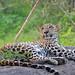 Leapards in Yala Sri Lanka