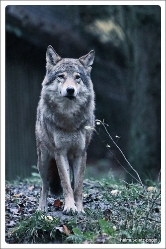 Wolf - Tierpark Olderdissen, Bielefeld, Germany