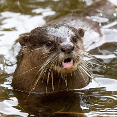 sea otter(0.0), animal(1.0), marine mammal(1.0), otter(1.0), fauna(1.0), whiskers(1.0), beaver(1.0), mink(1.0), wildlife(1.0),