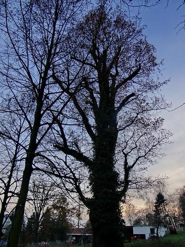 Baumsafari der abgestorbenen Blätter bei schwarzem Wolkenwetter im öden Haidekraut 00643