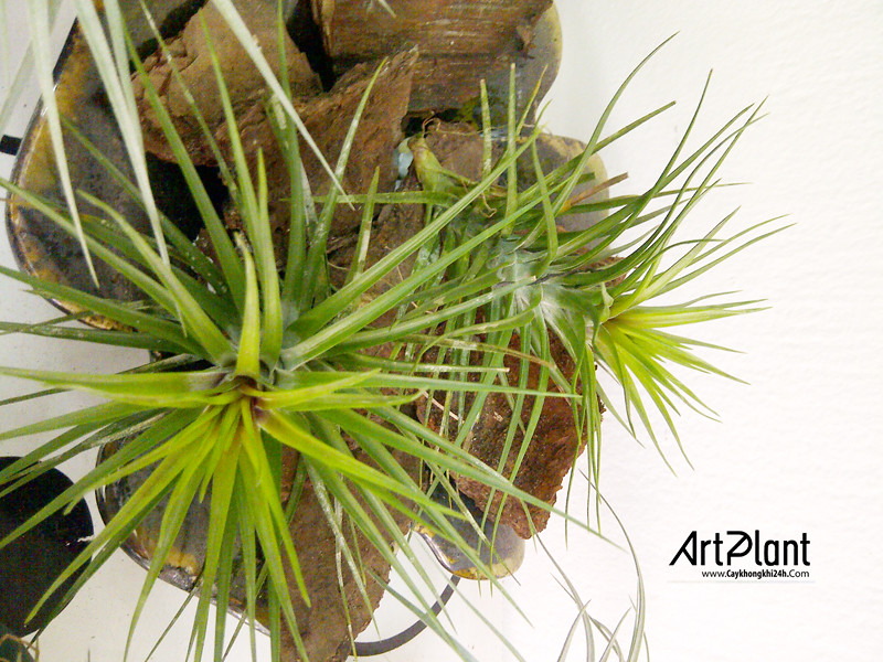 art plant | cay khong khi | tieu canh khong khi | terrarium | khong khi phuong hoang