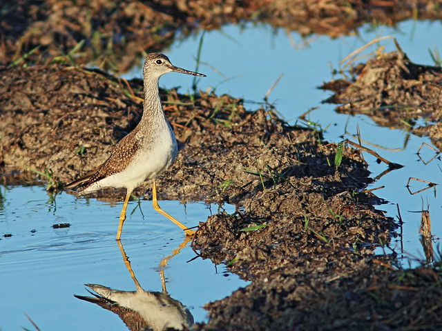Greater Yellowlegs 01-20141111