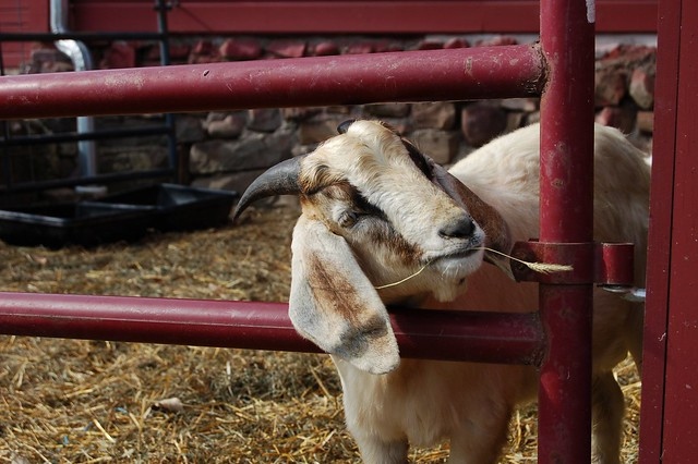 Breeding stock for the goat herd at Karl Family Farms in Modena, NY by Eve Fox, The Garden of Eating, copyright 2014