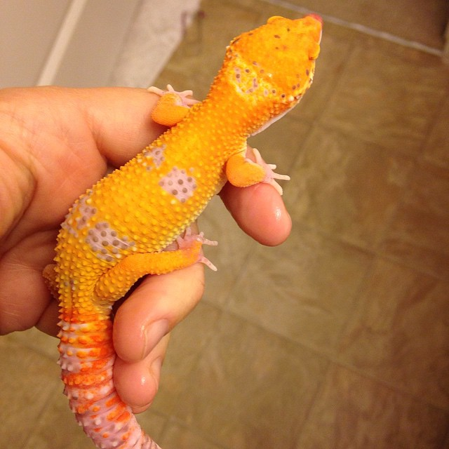 Leopard Gecko Orange Yellow