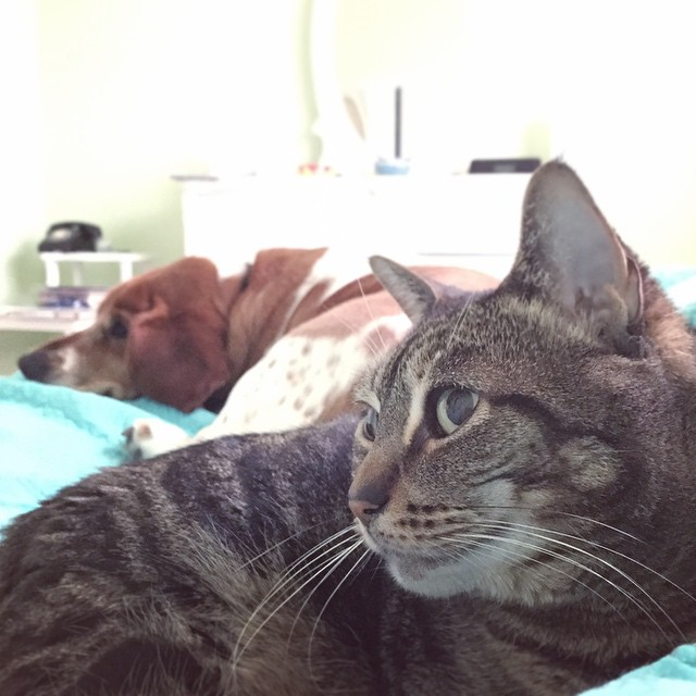 I woke up to uneasy snuggles. This is the closest they've ever been (touching!) and the peace holds only if they don't acknowledge the other exists.   #taralovesmornings #catsofinstagram #caturday