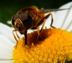 Large fly closeup
