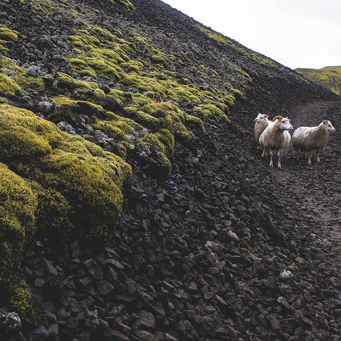 Iceland_Spiegeleule_August2014 097