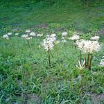 曼珠沙華/cluster‐amaryllis.
