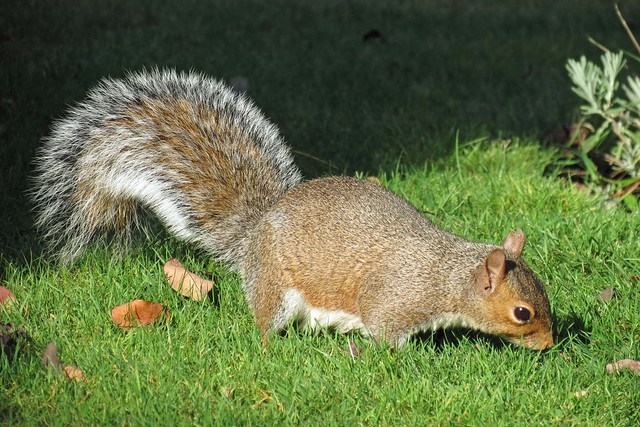 Squirrel Bushy Tail