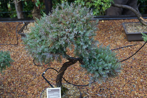 Juniperus sp. bonsai