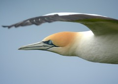 Australasian Gannet. Up close and personal.