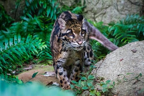台灣雲豹已確定絕種,而動物園所豢養的雲豹並非台灣雲豹。(來源:Simon Hsu)