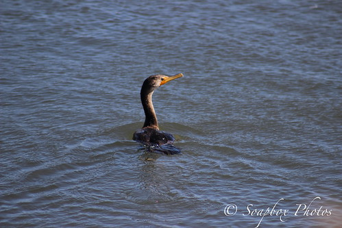 """Double-crested Cormorant"""