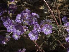 Death Valley phacelia, Phacelia vallis-mortae