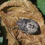 bencepoloska - Rhaphigaster nebulosa
