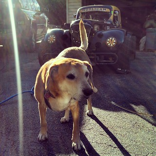 Crew dog Sophie... Keeping an eye on the Legend. #dogstagram #instadog #racecar #uslegends #HooliganMotorsports #8 #rescued #adoptdontshop #happydog