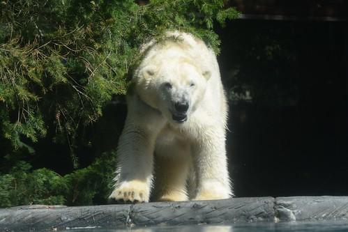 Eisbär Taiko (Siku) - 18. September 2014