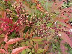 nandina-domestica-berries