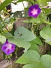 Odd allure of morning glories
