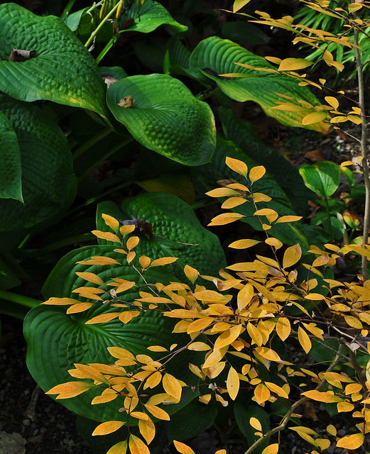 Lindera glauca 'Angustifolia' with Hosta