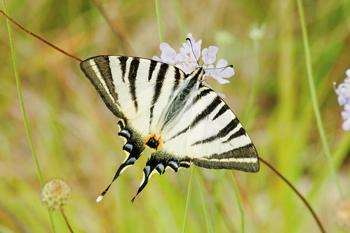 france butterfly languedoc invertebrates 2014