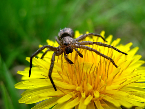 Spider on dandelion