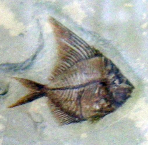 Aipichthys velifer 15649203292_dda1acd411_o