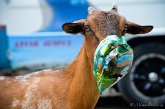 Goats: