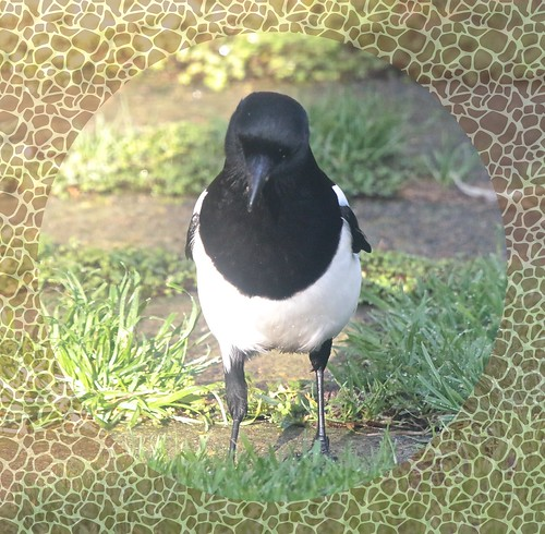 Magpie IMG_1895
