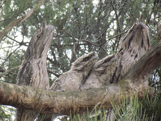 Tawny Frogmouths at Bed & Broccoli
