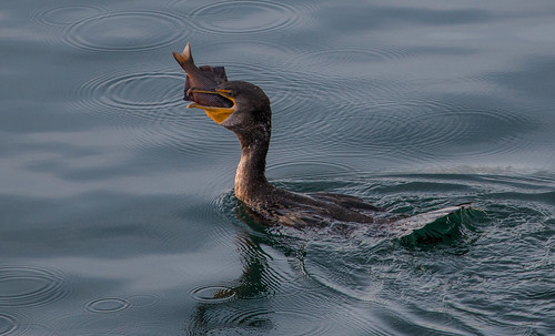 Double-crested Cormorant swallowing a fish