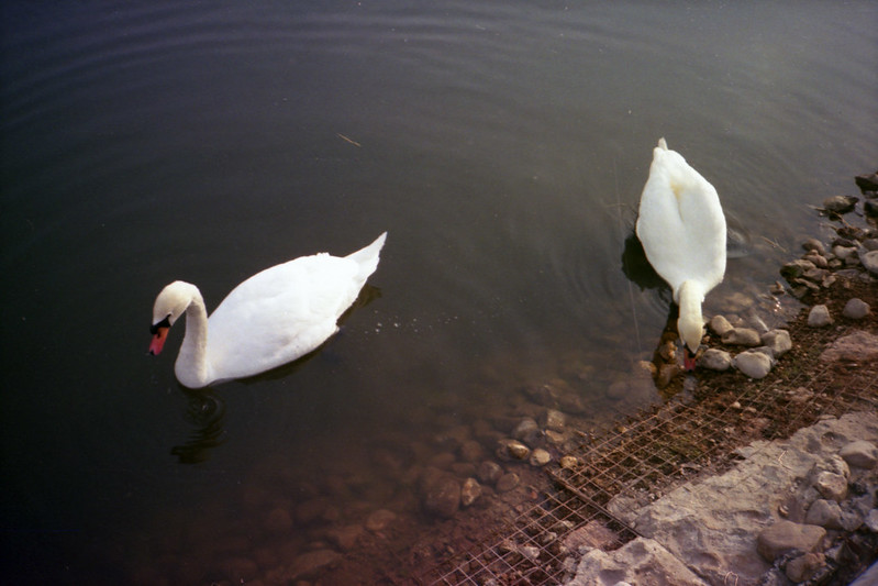 Swans on the monastery's pond (Freedom AF35)