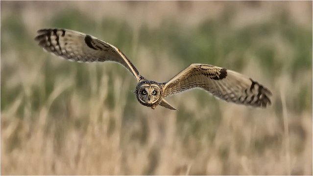 SEO _ I do hope we get these stunning birds back this year, a joy to be with and to photograph