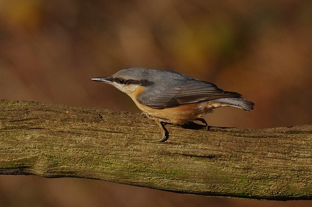 IMGP7437 Nuthatch, The Lodge, Sandy, November 2016