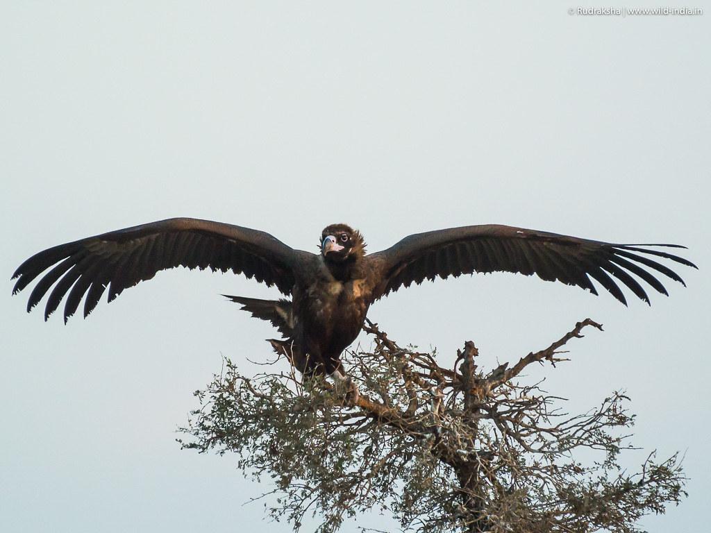 Cinerous Vulture-2