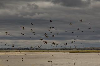 Lake Bowdoin Birds, Bowdoin National Wildlife Refuge, Montana