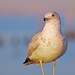 Ring-billed Gull Portrait by Adam Turow