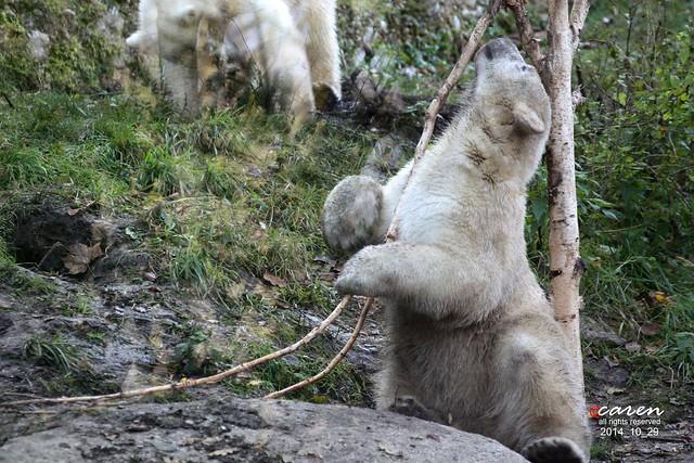 Eisbär Nobby 2014_10_29 013