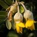 Sophora chrysophylla- Māmane by loveexploring