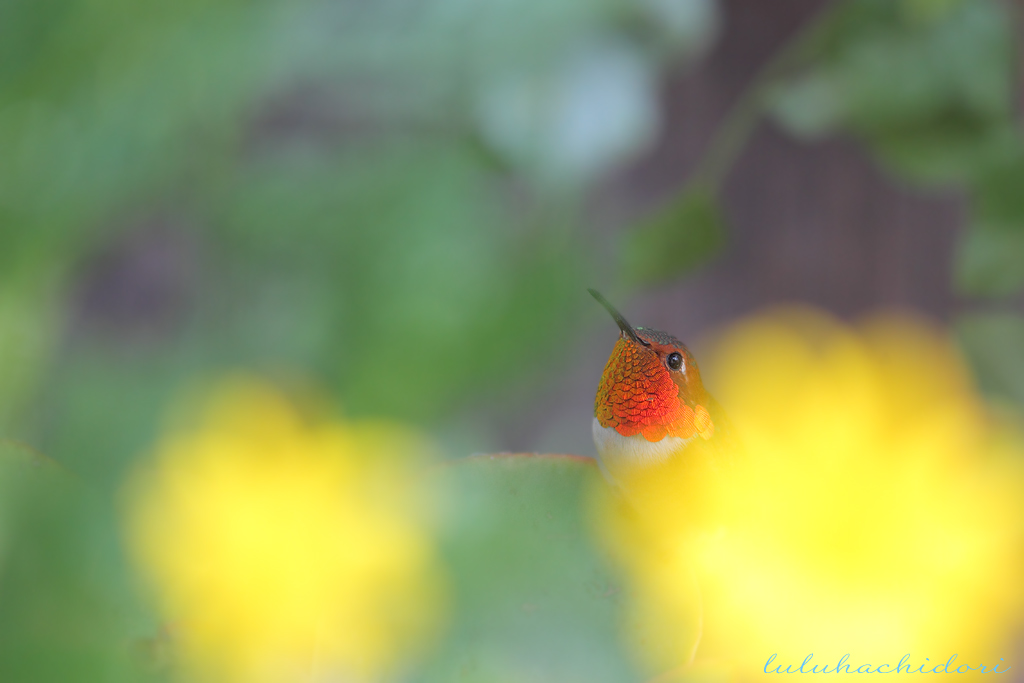 Allen's Hummingbird-111414