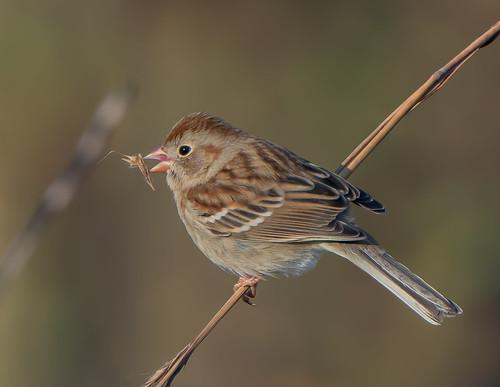 bird sparrow birdeatingseed fieldsparroweatingseed fieldsparrow spizellapusilla bonniecoatesott