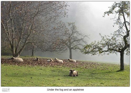 autumn mist tree nature animal fog canon landscape eos schweiz switzerland europe mood sheep relaxing lonelyplanet dslr nationalgeographic fantasticnature