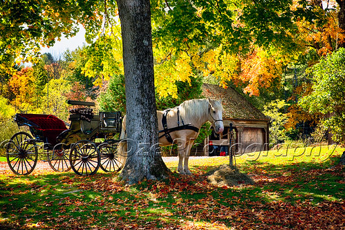 travel autumn horse fall horizontal barn standing landscape colorful vermont seasons carriage farm relaxing scenic nobody foliage transportation northamerica romantic daytime horsedrawn tranquil atmospheric whitehorse horsedrawncarriage idillic farmbuildings underatree inwait buildingexteriors