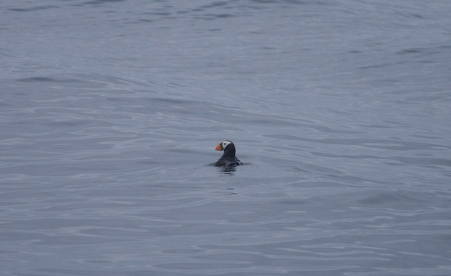 Tufted Puffin!!!
