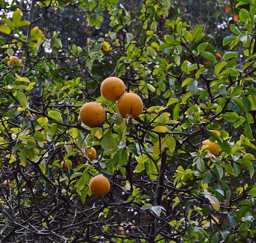 Poncirus trifoliata (2)
