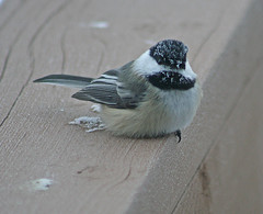 Black-capped Chickadee, Poecile atricapilla, 40 degrees below zero, Aitkin Minnesota, Photo by Wes