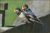 Young Swallows (image 1 of 5)